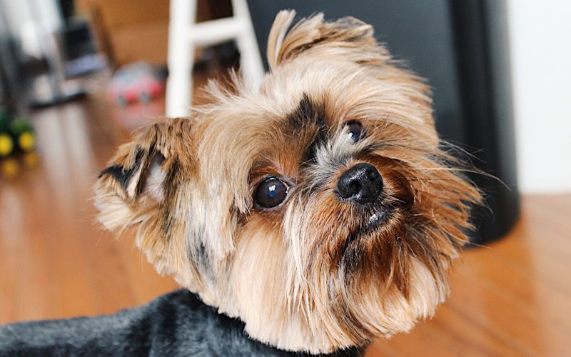 How to groom a yorkie at home tutorial all things yorkies grooming is not an option when it comes to the yorkshire terrier they grow long silky coats and their hair is very fine it tangles super easily and can solutioingenieria Images
