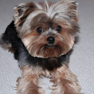 Yorkshire Terrier Characteristics Temperament And Breed