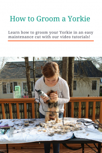 How To Groom A Yorkie At Home Tutorial All Things Yorkies