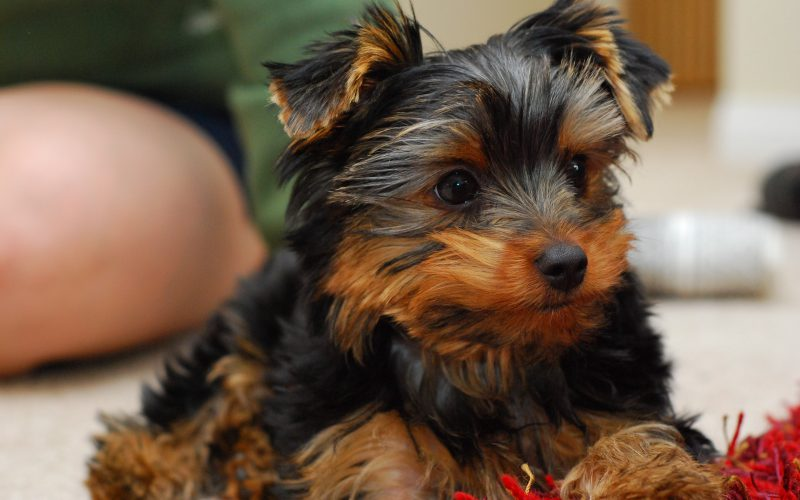Best Dog Food For Yorkie Puppies All Things Yorkies